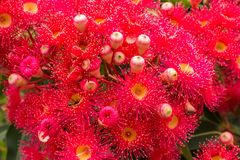 Red flowering gum blossoms of eucalyptus tree with honey bee collecting pollen. Red flowering gum blossoms of eucalyptus gumtree with honey bee collecting pollen stock image