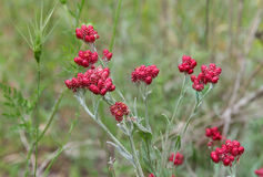 Red flowering plant Royalty Free Stock Image