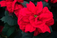 Red flowering plant. Red flowering poinsettia plant. View from above flower stock images