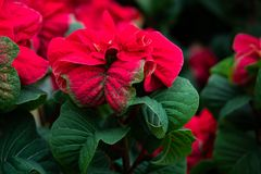 Red flowering plant. Red flowering poinsettia plant. Blurred background copy-space stock photos