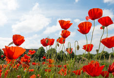 Red flowering poppies against a blue sky. Stock Image