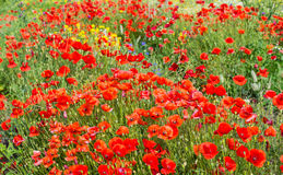 Red flowering poppies from close Stock Photo