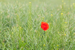 Red flowering poppies Royalty Free Stock Photography
