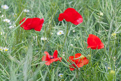 Red flowering poppies Stock Images