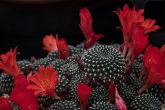 Red flowering prickly cactus plants against a black background. Red flowering cactus plants against a black background, seen at the Royal Horticultural Society Royalty Free Stock Photos