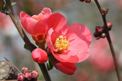 Red flowering Quince Royalty Free Stock Photos