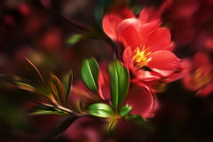 Red flowering Quince Royalty Free Stock Photography