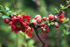 Red Flowering Quince. Deep red flowering quince flowers bloom on a branch in an early spring garden stock photo