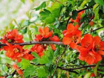 Red flowering quince in spring stock image