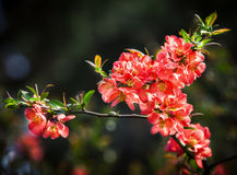 Red flowering Quince Royalty Free Stock Photo