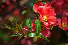 Red flowering Quince Royalty Free Stock Image
