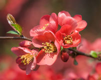 Red flowering Quince Royalty Free Stock Images