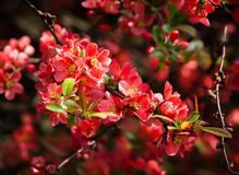 Red flowering Quince. Red spring flowers. Blossoming Chaenomeles (flowering quince, Japanese quince stock photography
