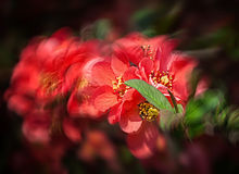Red flowering Quince Stock Image