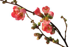 Red flowering quince on white Stock Photos