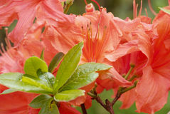 Red flowering rhododendron Royalty Free Stock Photography