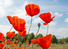 Red flowering translucent poppies against a blue sky. Royalty Free Stock Photos