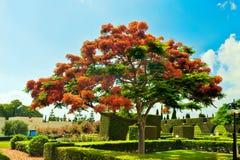 Red flowering tree_ Royalty Free Stock Image