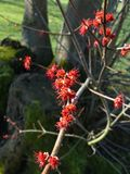 Red flowering tree royalty free stock photo