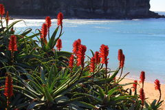 Red flowering tropical plant at beach bay Royalty Free Stock Photo
