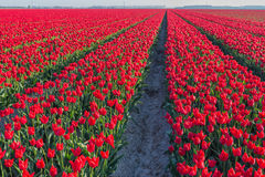 Red flowering tulips in long rows in the field Stock Photography