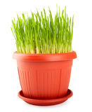 Red flowerpot with green grass Stock Images