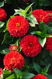 Red flowers. And green leafage Royalty Free Stock Images
