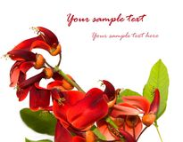 Red flowers. Isolated on white with place for text Royalty Free Stock Images