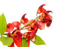 Red flowers. Isolated on white Royalty Free Stock Photo