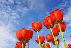 Red flowers. Natural red flowers of tulips against blue summer sky, nature background with copy space Stock Photos
