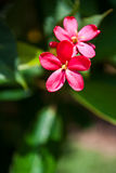 Red flowers. Beautiful summer , Thailand Stock Photography