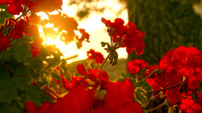 Red flowers. Beautiful red flowers at the sunrise royalty free stock photography