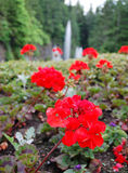 Red flowers. Blooming red flowers in front of fountain in butchart garden, victoria, canada Royalty Free Stock Images