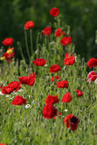 Red flowers. In field Stock Images