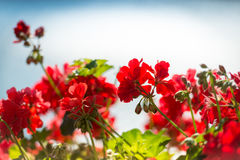 Red flowers against blue background Royalty Free Stock Images