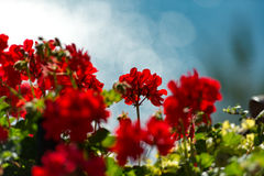 Red flowers against blue background Royalty Free Stock Photo
