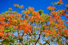 Red flowers against blue sky. Israel Royalty Free Stock Image