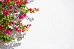Red flowers agaist white wall good for background. Bougainvillea climbing against the wall of a house Royalty Free Stock Photo