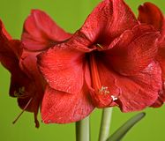 Red Flowers Amaryllis Stock Image