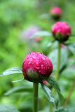 Red flowers in America. Flowers with red ball in America Stock Image