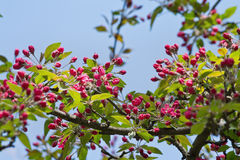 Red flowers of apple Royalty Free Stock Photography