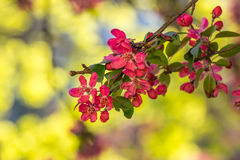 Red flowers of apple tree on a grass Royalty Free Stock Photos