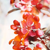 Red flowers on the apple tree. Royalty Free Stock Images