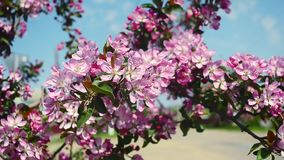 Red flowers of Apple trees on background of blue sky shakes wind in spring Park, bees pollinate the blossoming Apple. Red flowers of Apple trees on background of stock video