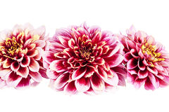 Red flowers of aster isolated on white background Royalty Free Stock Photos