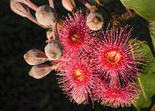 Red Flowers Australian Eucalyptus Gum Tree. Red flowering gum tree eucalyptus tree Australian native with buds phytocarpa Stock Photography