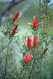 Red flowers of the Australian native Mountain Devil royalty free stock images