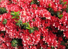 Red flowers  Azalea in a Japanese garden. Royalty Free Stock Images