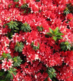 Red flowers  Azalea in a Japanese garden. Royalty Free Stock Image