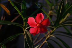 Red flowers background blue in Surat Thani Thailand. Beautiful red flowers in Surat Thani Thailand Stock Images